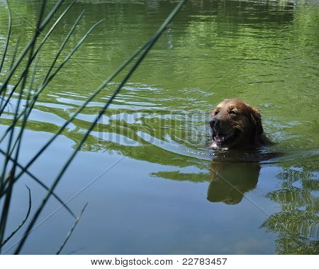 Golden Retriever Swim