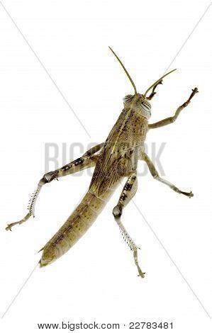 Climbing Cricket