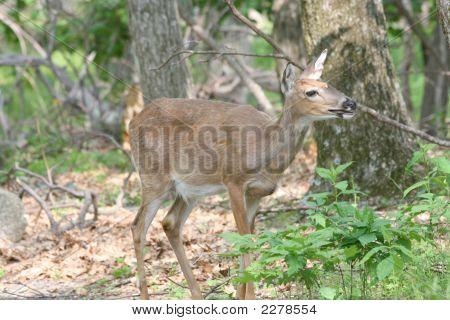 Female Deer Shenandoah National Park