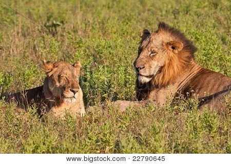 Male And Female Lion Pair Lying