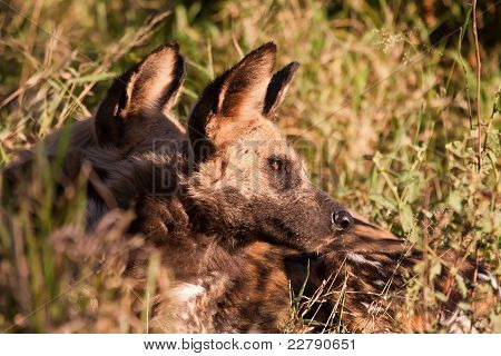 Wild Dogs Lying In The On Grass In Sun