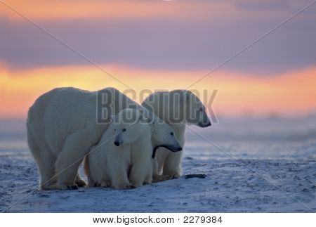 Polar Baer With Her Cubs