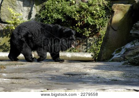 Asiatic (Ursus Thibetanus) Black Bear In Zoo.