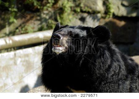 Asiatic (Ursus Thibetanus) Black Bear In Zoo