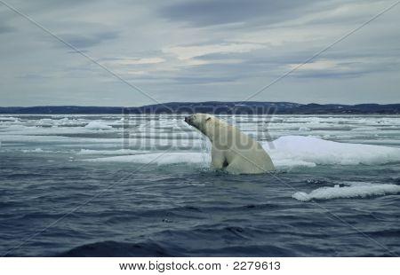 Polar Bear On Ice Floe In Canadian Arctic