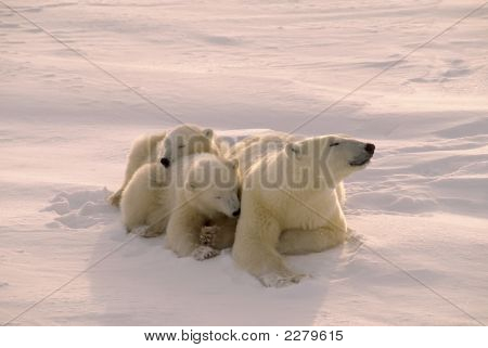 Polar Bear With Her Cubs Filtered Pink Arctic Weak Sunlight