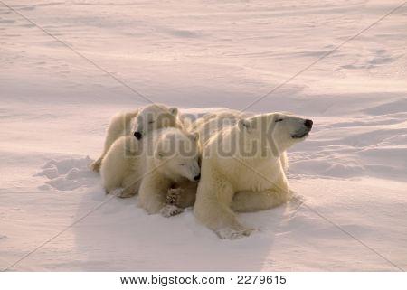 Oso polar con su cachorros filtrada Rosa Ártico débil sol