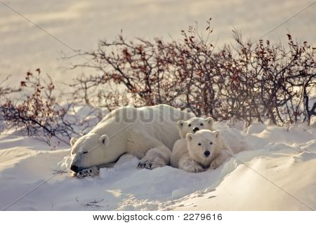 Polar Bear With Her Cubs