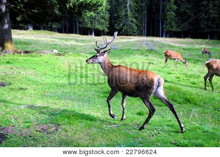 young male deer runs in mountain landscape