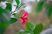 Hibiscusis A Genus Of Flowering Plants In The Mallow Family, Malvaceae. The Genus Is Quite Large, Co poster