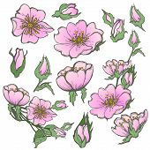Wild Dog Rose Flowers, With Butterfly Drawing Vector Clipart On White Background. poster