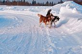 Walk With Dogs. Siberian Husky Playing On Winter Walk. Husky Dogs Bite And Push In Snow. poster