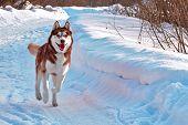 Walk With Dog. Siberian Husky Playing On Winter Walk. Husky Dog Run In Snow. poster