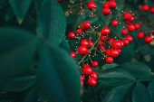 Bush With Lots Of Red Berries On Branches, Autumnal Background. Close-up Colorful Autumn Wild Bushes poster