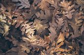 Autumn Leaves Background. Fallen Oak Leaves Texture And Background For Design. Dry Oak Leaves On The poster