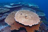 Corals Of Genus Acropora Pharaonis, Maldives poster