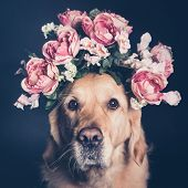 Golden Retriever Dog In A Flower Crown, Looking At The Camera, Square Format poster