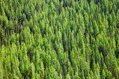 Aerial view of Larches at Taiga boreal forest in Altai Mountains of Western Mongolia poster