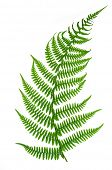 stock photo of fern  - Fern isolated on white background - JPG