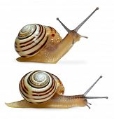 pic of hermaphrodite  - Striped snail on white background - JPG