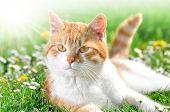 Постер, плакат: кошка в траве