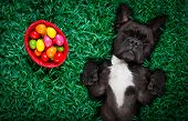 Funny  Happy French Bulldog  Easter Bunny  Dog With A Lot Of Eggs Around On Grass  And Basket , Slee poster