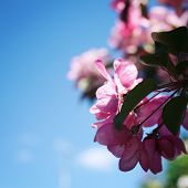 Pink Apple Flowers In Bloom. Spring. Aged Photo. Flowers Bloom In Spring Season. Apple Blossom Time. poster