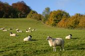 Sheep Safely Grazing