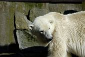White (Polar) Bear In Zoo.