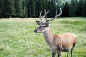 stock photo of musky  - young e horny male deer  in mountain landscape - JPG