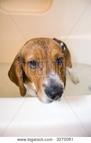 Beagle Dog In The Bathtub