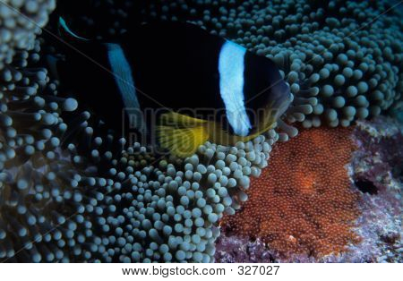 Clownfish With Eggs