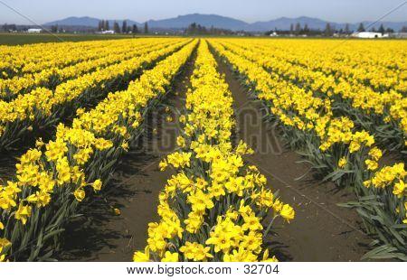Doffodillinear