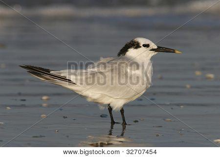 Sandwich Tern In Winter Plumage