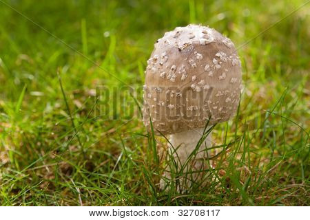 Young Wild Mushroom (Amanita Rubescens) Growing In A Grass Lawn