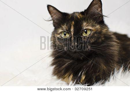 cute tortie cat