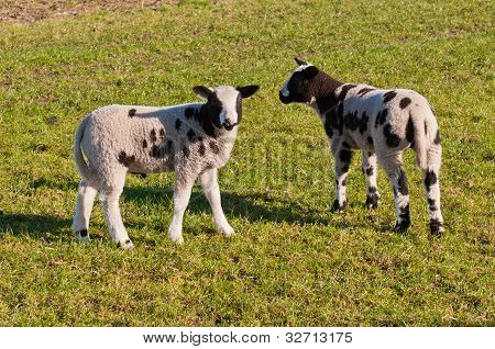 Two Black Spotted Little Lambs On Grass