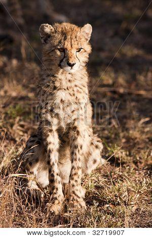 Wild Cheetah Cub
