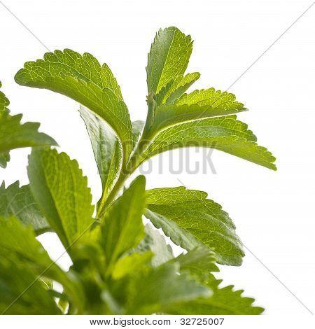 stevia rebaudiana over white