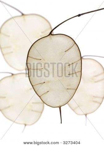 Lunaria In Abstract Form