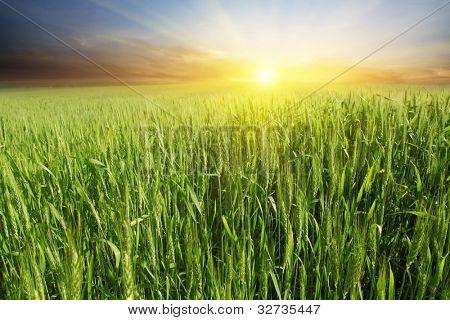 Hermoso colorido atardecer sobre campo de trigo verde.