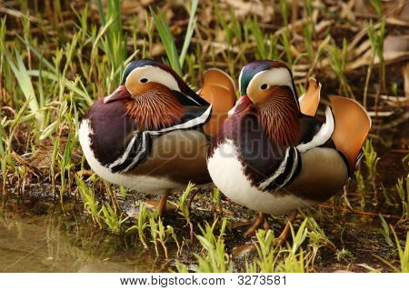 Colourful Ducks