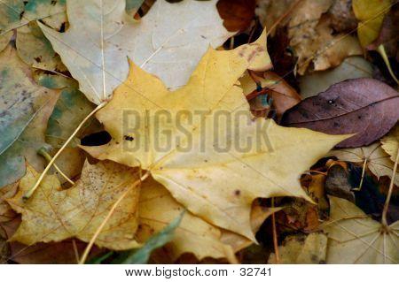 Fallen Leaves One