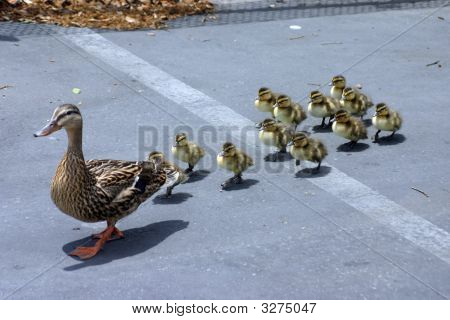 Momma With Ducklings 1