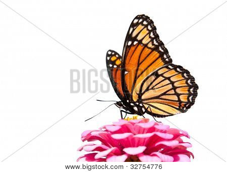 Brilliant Viceroy butterfly feeding on a bright pink Zinnia; isolated on white