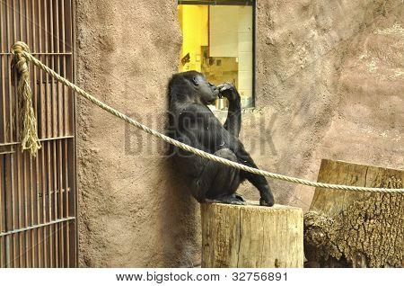 Gorila is thinking