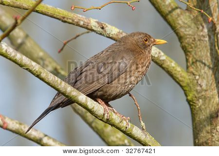 A Blackbird In A Tree