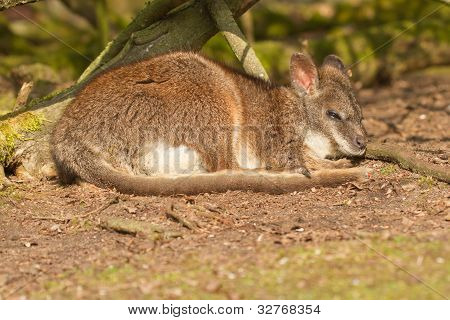 A Sleeping Parma Wallaby