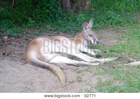 Kangaroo Dozing