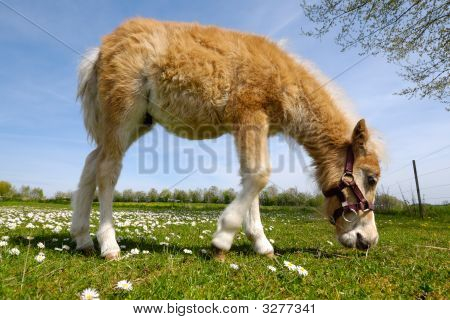 Horse Foal Is Eating Green Grass
